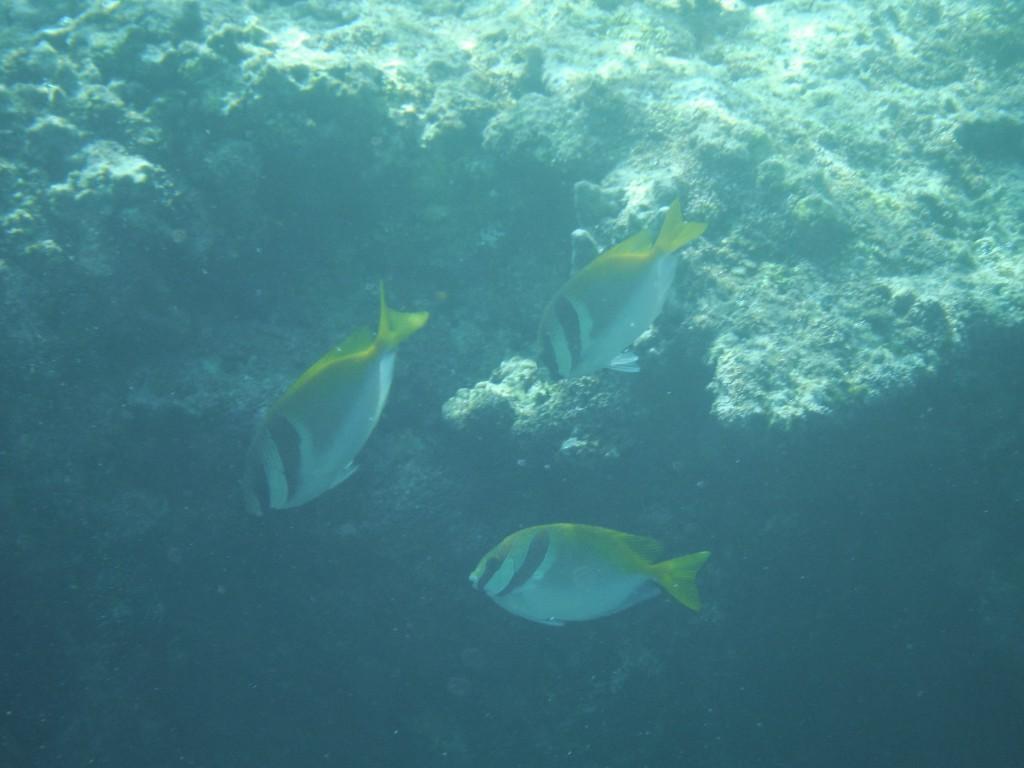 洞窟前の海で見つけたヒメアイゴ