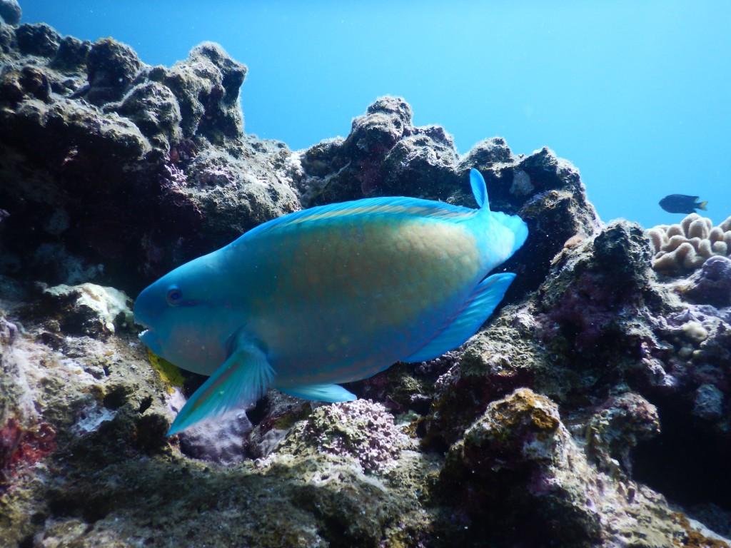 珊瑚礁の周りを優雅に泳ぐイラブチャー