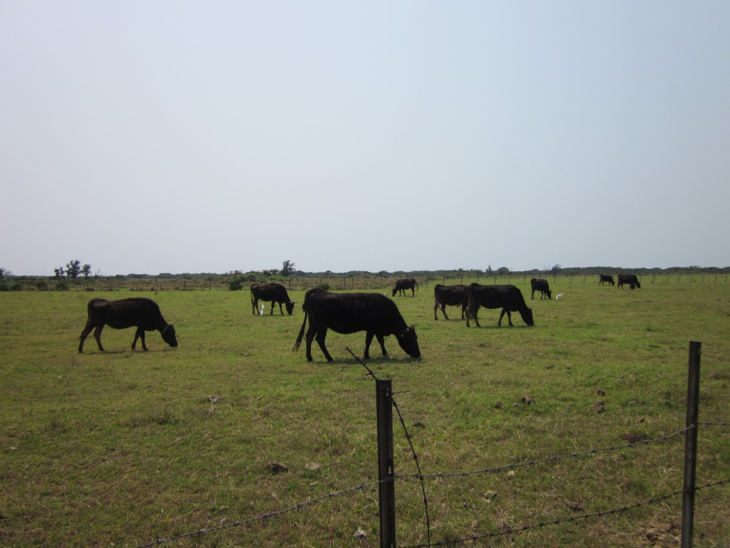 ふと見てみると、そこにはいつでも牛さんたちが。