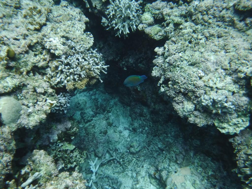 岩陰をそっと泳ぐイラブチャー