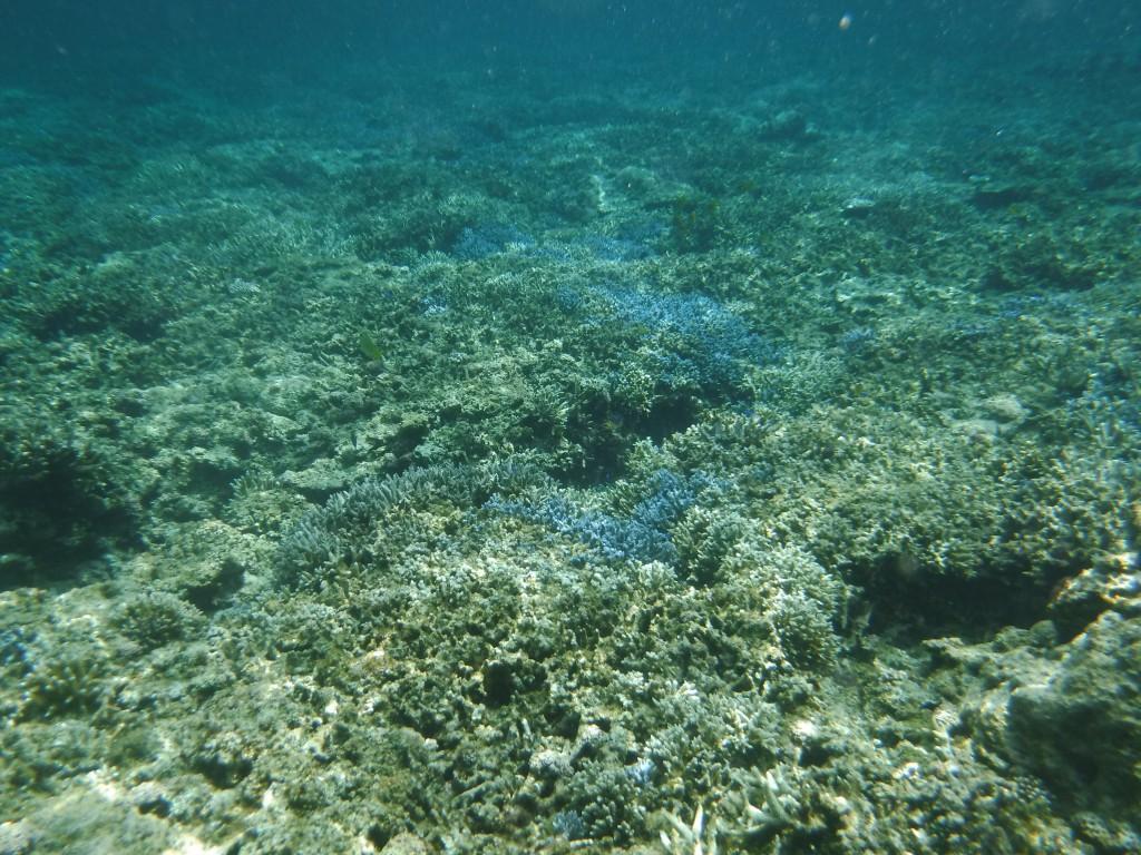 米原の海には綺麗なサンゴが広がってる