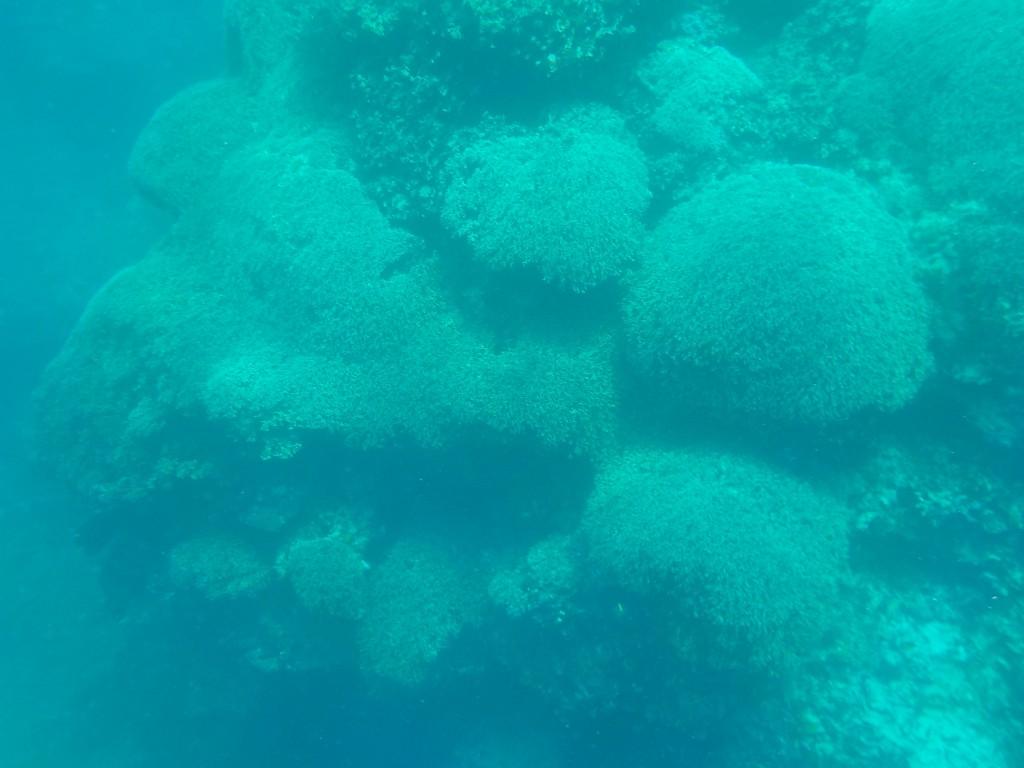 丸いサンゴがいっぱい