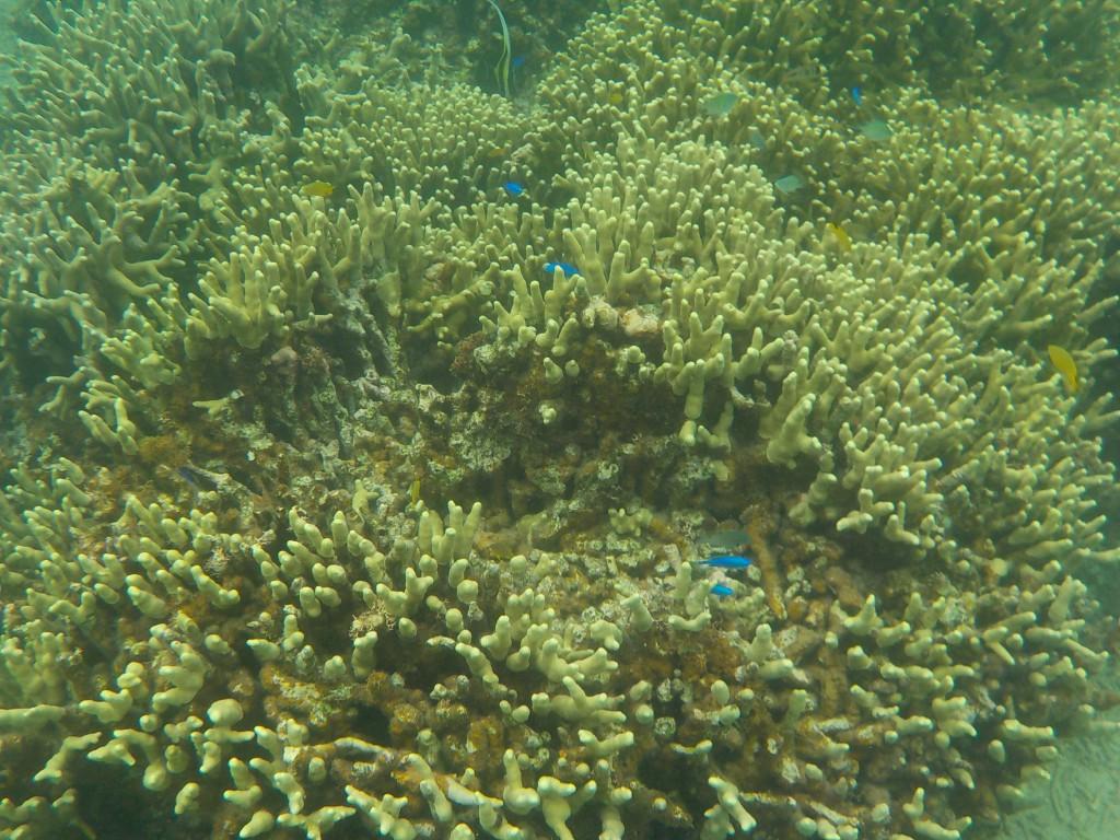 サンゴに群れるルリスズメダイ