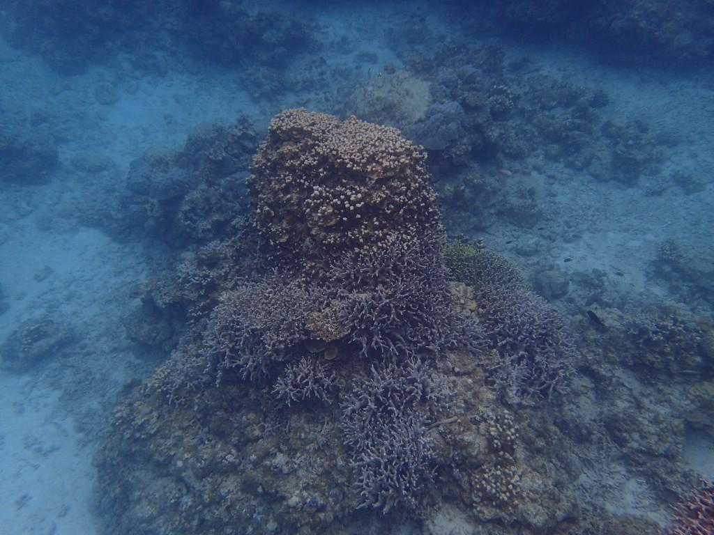今日のユビエダハマサンゴ