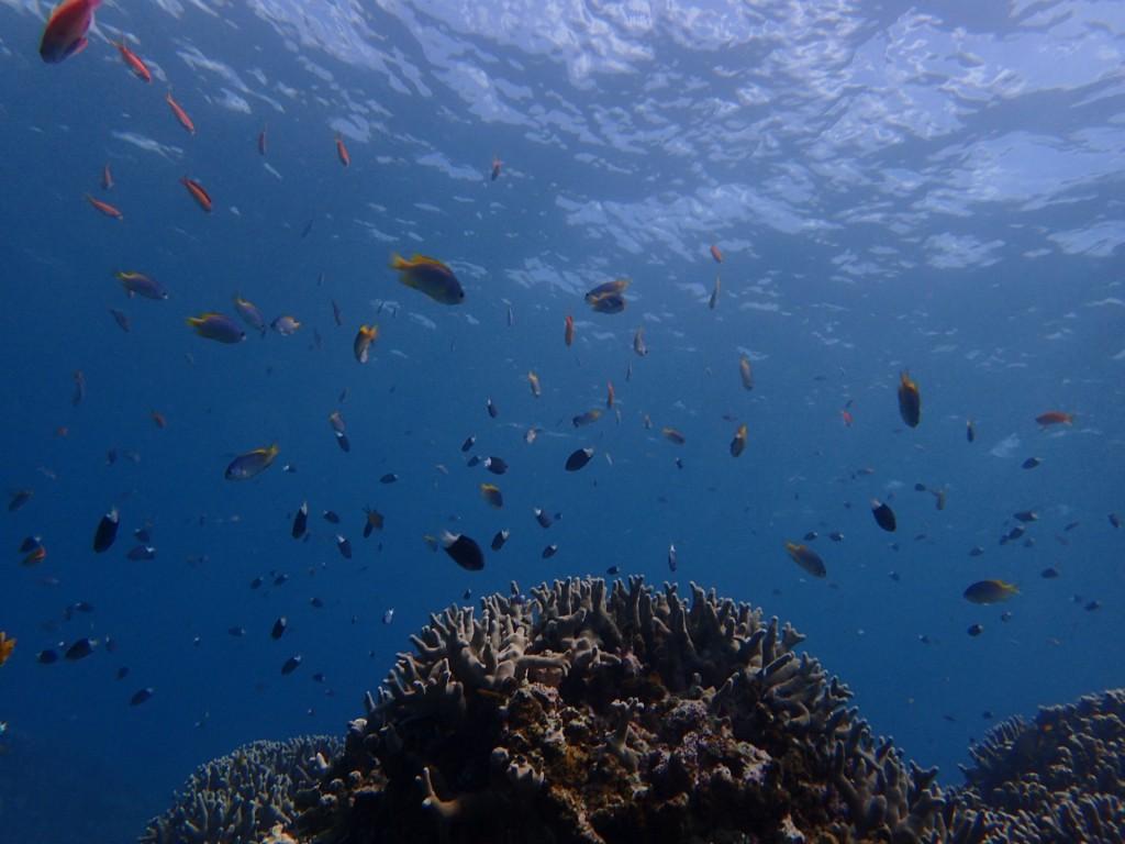 サンゴにはたくさんのお魚!