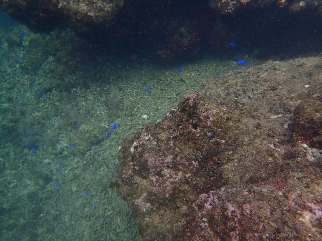 青の洞窟近くにはルリスズメダイがいっぱい