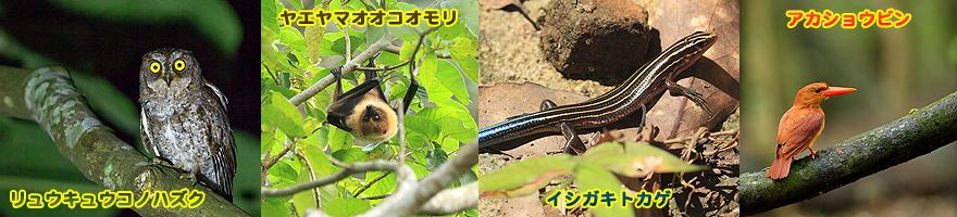 ホタル以外に観られるかもしれない生き物、リュウキュウコノハズク・ヤエヤマオオコオモリ・イシガキトカゲ・アカショウビンの画像